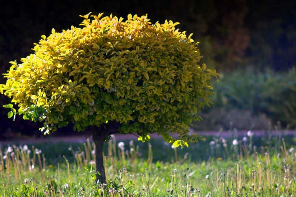 The Best Dwarf Trees for Landscaping Small Yards   Better ...